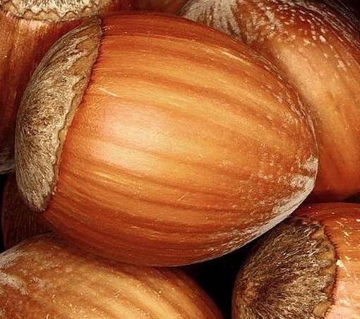 Noisetier à gros fruits Corylus 'Nottingham Fruehe'