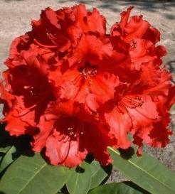 Rhodo azalée Rhodo 'Red Jack'