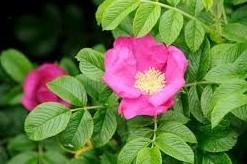 Rosa rugusa