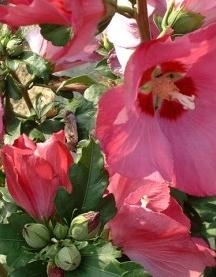 Rose de Chine Hibiscus syr. 'Wood Bridge'