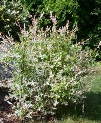 Saule Salix integra 'Hakuro Nishiki'