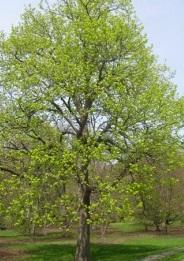 Tilleul Tilia americana
