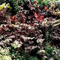 Vigne vierge Vitis vinifera 'Purpurea'