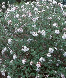 Viorne Viburnum carlesii