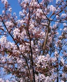 amélanchier arborea robin hill