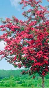 crataegus paul scarlet