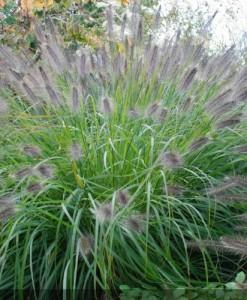 pennisetum_alopecuroides_japonicum