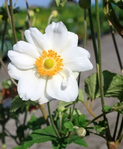 Anémone du Japon Anemone Hybr. 'Honorine Jobert' 100 ADLT P9