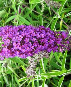 Arbustes aux papillons Buddleja dav. 'Nanho Purple' 40-60 C