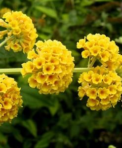 Arbustes aux papillons Buddleja weyeriana 'Sungold' 40-60 C
