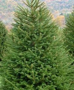 Épicéa Picea abies 100-125 Mot