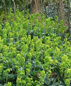 Euphorbe Euphorbia amygd. robbiae 60 ADLT P9
