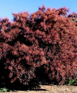 Arbre à perruque Cotinus cogg. 'Royal Purple' 60-80 C