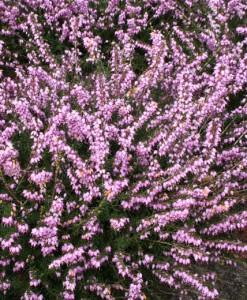Bruyère Erica darleyensis 15-20 C1.5