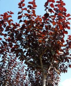 Cerisier à fleurs Prunus cerasifera 'Nigra' 60-90 3/5t Bw