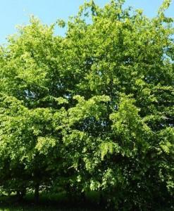 Charme Carpinus betulus 125-150 Bw 1+2