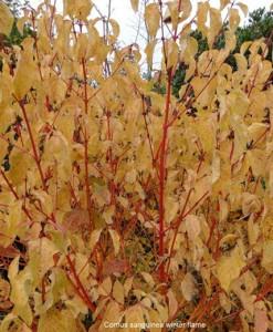 Cornouiller Cornus sanguinea 'Winter Beauty' 40-60 C