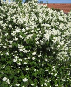 Deutzia Deutzia magnifica 60-90 3/5t Bw