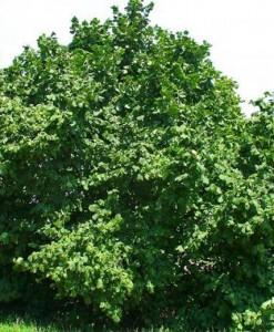 Noisetier Corylus avellana 60-90 3/5t Bw